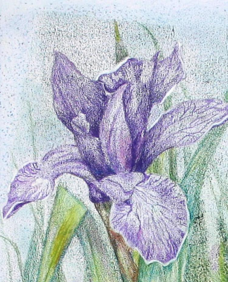 Siberian Iris 3 - an original artwork by Pat Rhead-Phillips